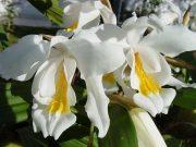 orquideas.eco.br - Coelogyne cristata