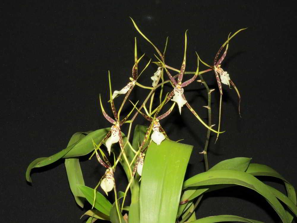 1122 - Brassia Rex