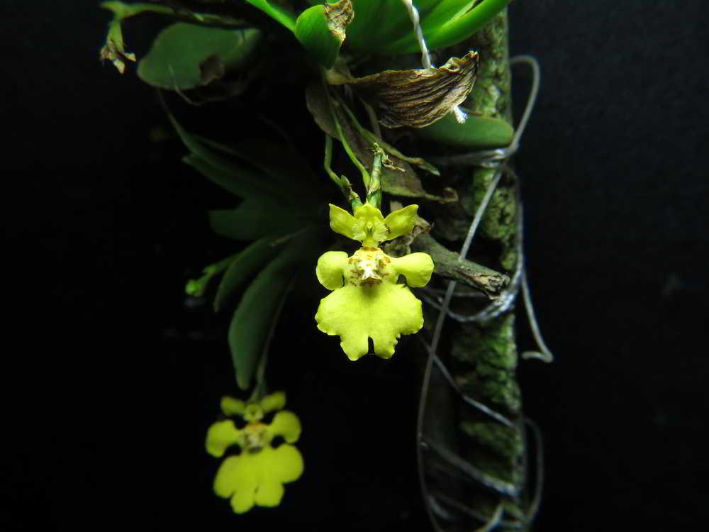 Orquídeas e o calor – primavera e verão