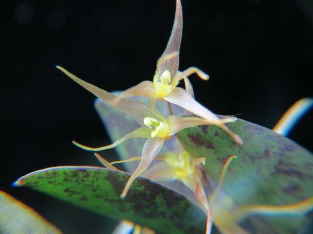 1220 – Specklinia heterophylla