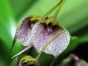1319 – Masdevallia floribunda
