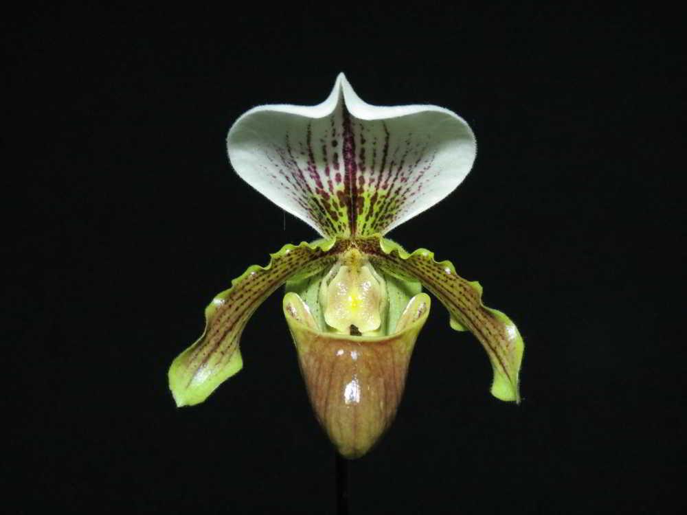 Resultado de imagem para paphiopedilum  leeanum
