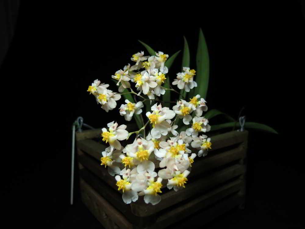 Oncidium Twinkle e sua inflorescência paniculada