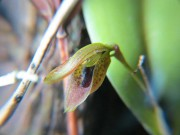 1067 – Acianthera saundersiana