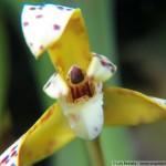 1423-Maxillaria-picta