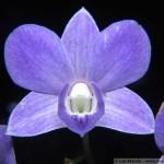1426 - Dendrobium