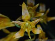 1108 - Bifrenaria aureofulva