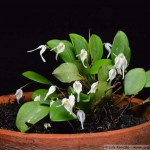 1357 - Specklinia carinifera