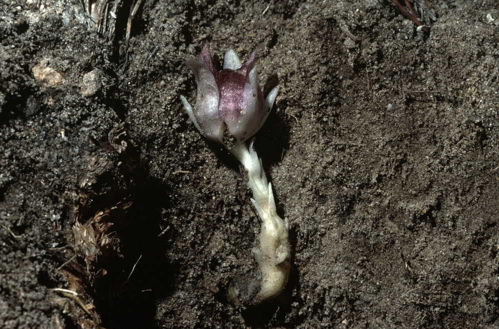 Rhizanthella gardneri e sua parte escondida no solo