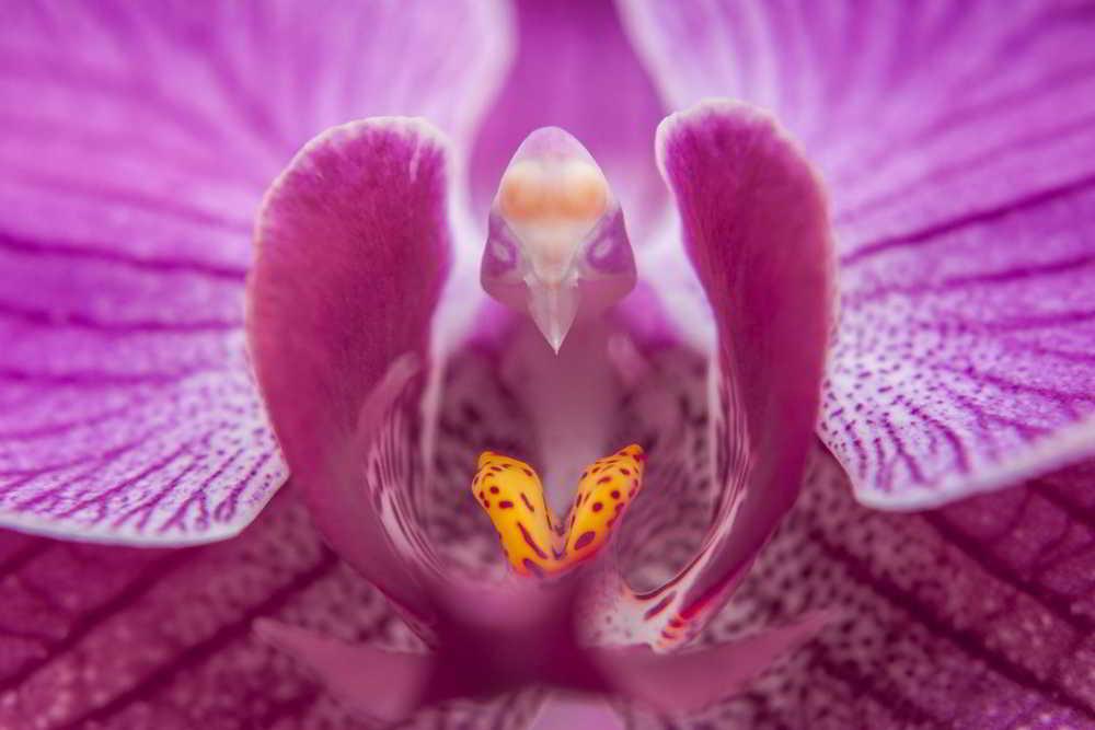 Phalaenopsis - Orquídea mariposa - Foto de José Roberto Rodrigues Araújo