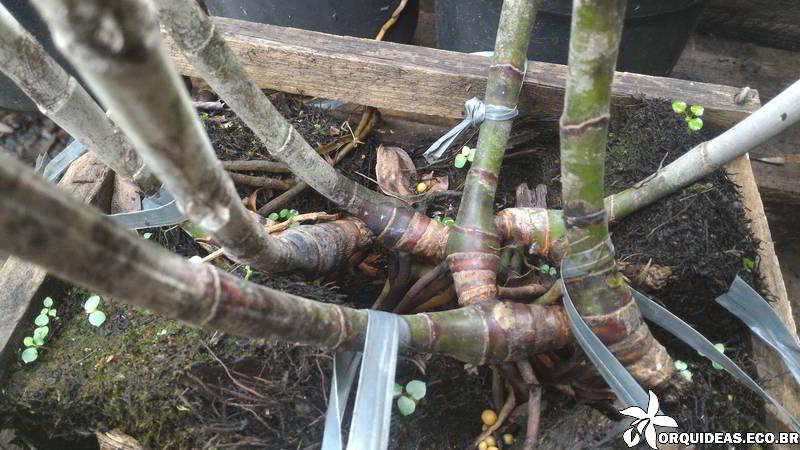 orquideas.eco.br - podridão negra nas orquídeas
