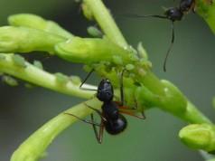 orquideas.eco.br - pragas e doenças nas orquídeas - pulgões