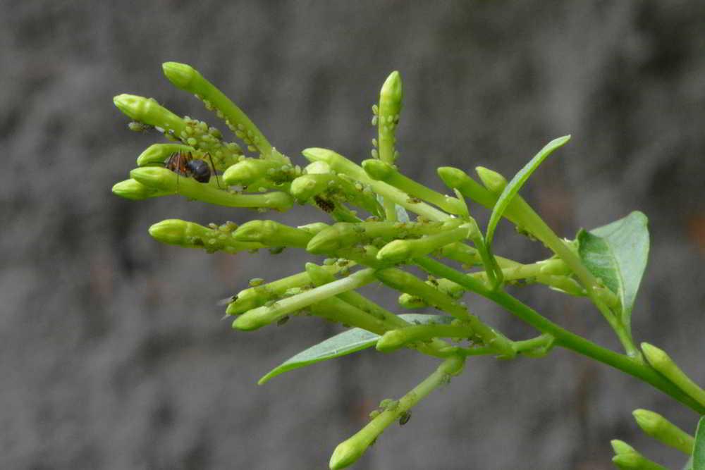 orquideas.eco.br - pragas e doenças nas orquídeas - pulgões (4)