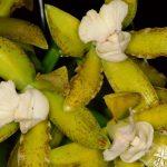 orquideas.eco.br - Cattleya tigrina Cetro de Esmeraldas