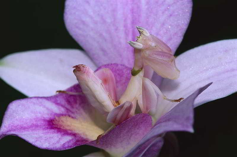 orquideas.eco.br - Louva-a-deus orquídea
