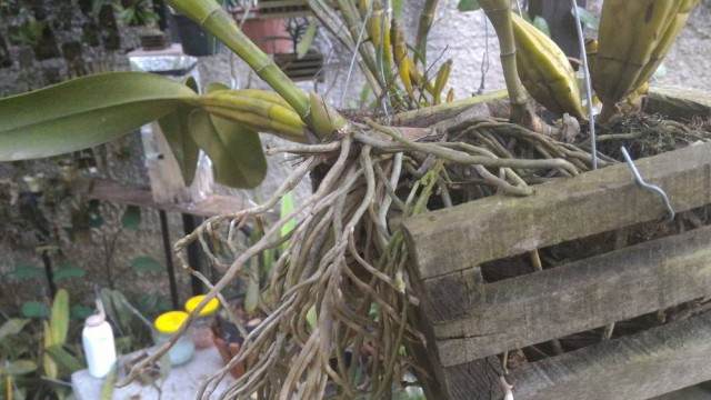 orquideas.eco.br - Raízes