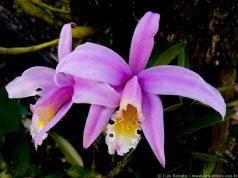 orquideas.eco.br - 1043 - Laelia jongheana