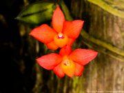 orquideas.eco.br - Sophronitis cernua