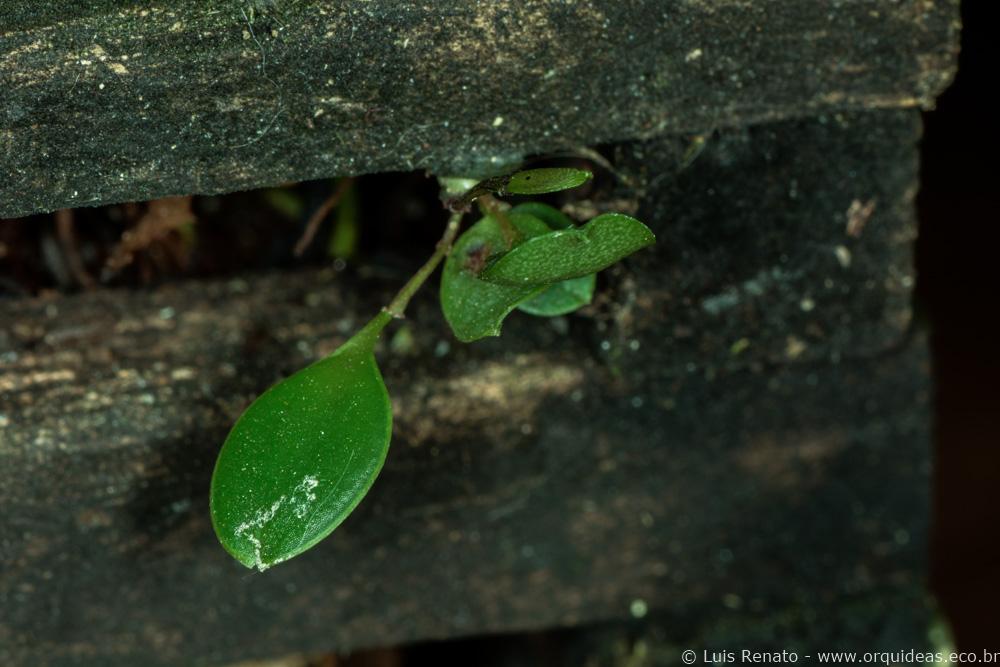 orquideas.eco.br - germinando uma orquídea (3)