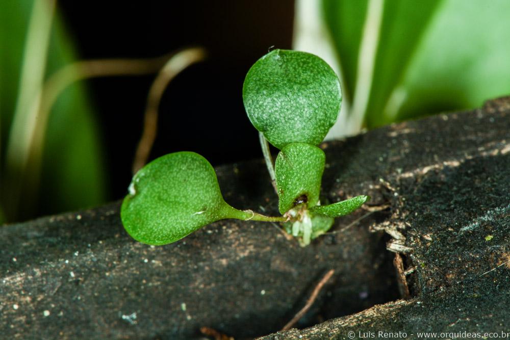 orquideas.eco.br - germinando uma orquídea (8)