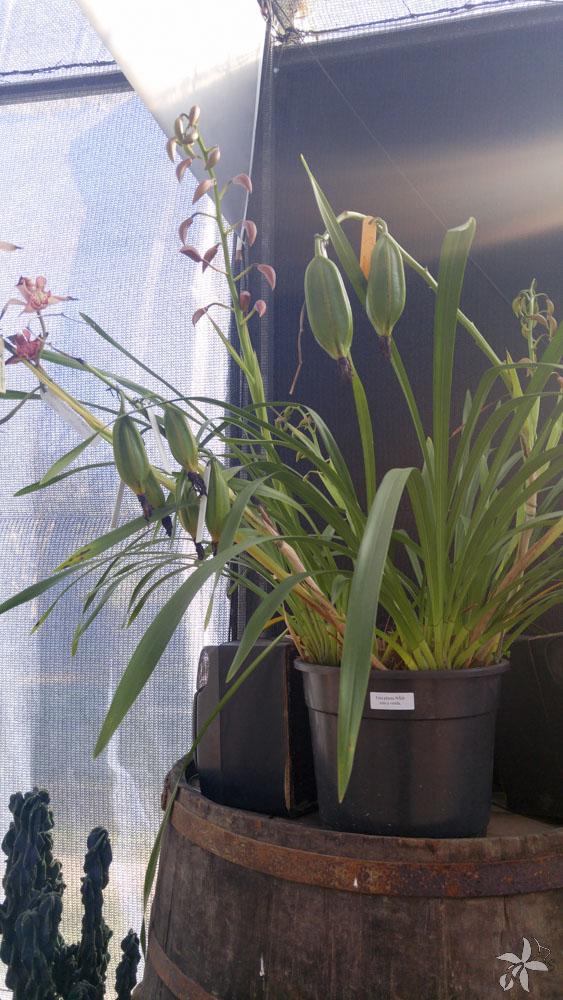 orquideas.eco.br - desenvolvimento de uma orquidea (13)