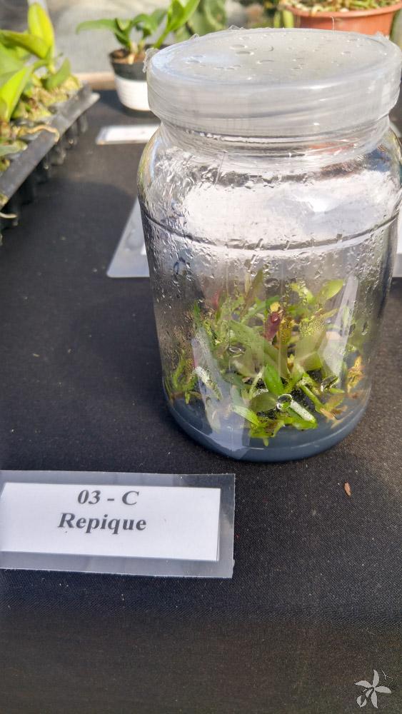 orquideas.eco.br - desenvolvimento de uma orquidea (6)