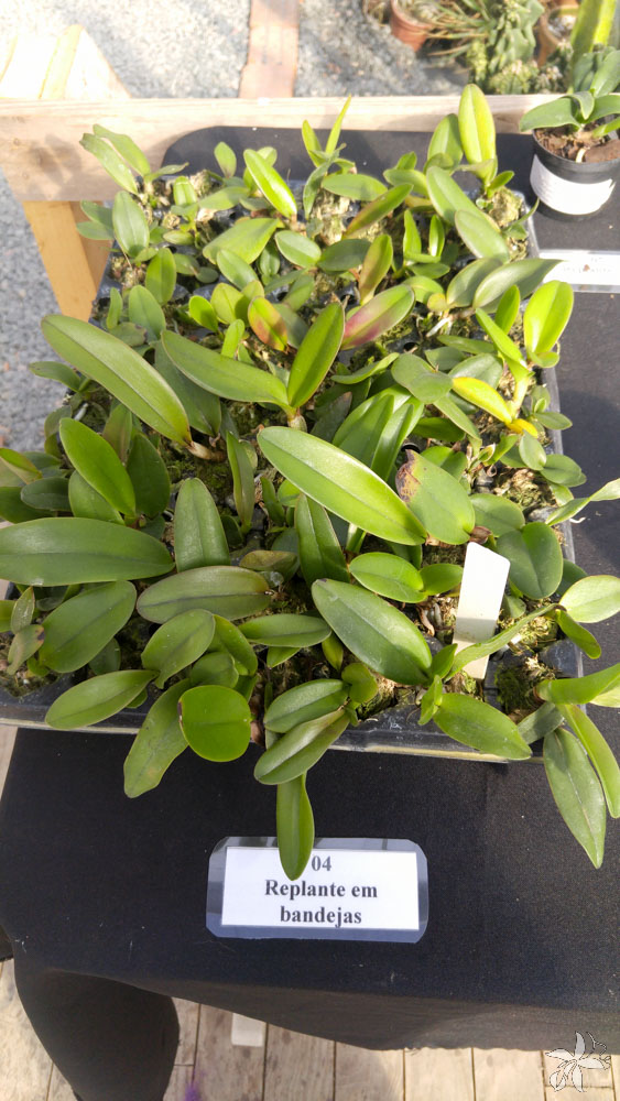 orquideas.eco.br - desenvolvimento de uma orquidea (7)