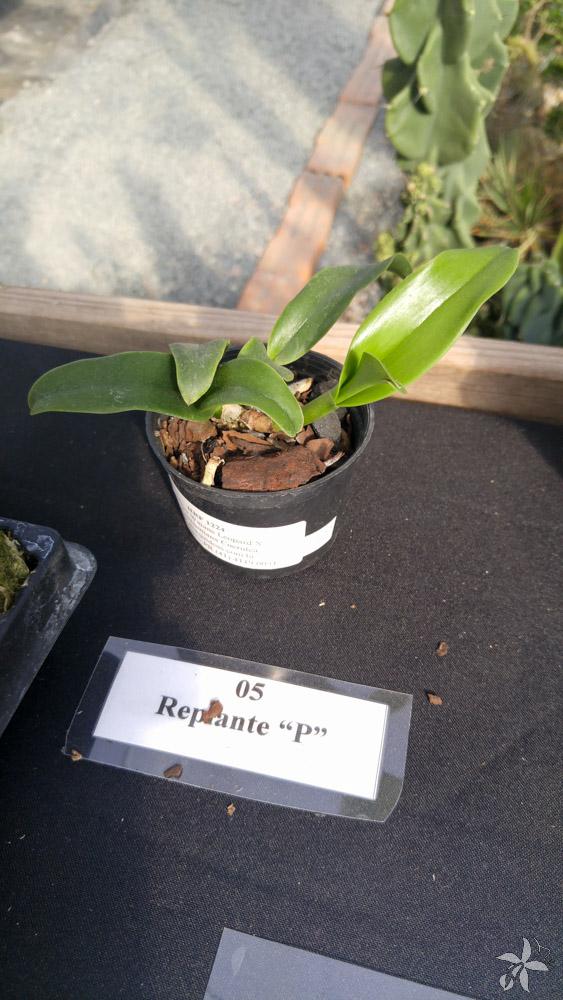 orquideas.eco.br - desenvolvimento de uma orquidea (8)