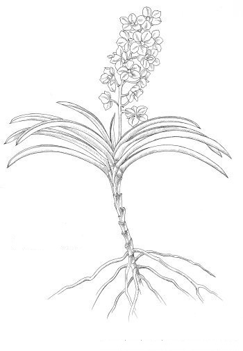 orquideas.eco.br - orquidea monopodial
