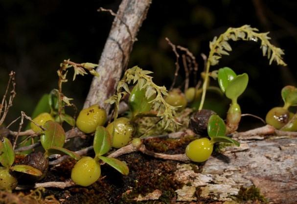 orquideas-eco-br-bulbophyllum-nutans2
