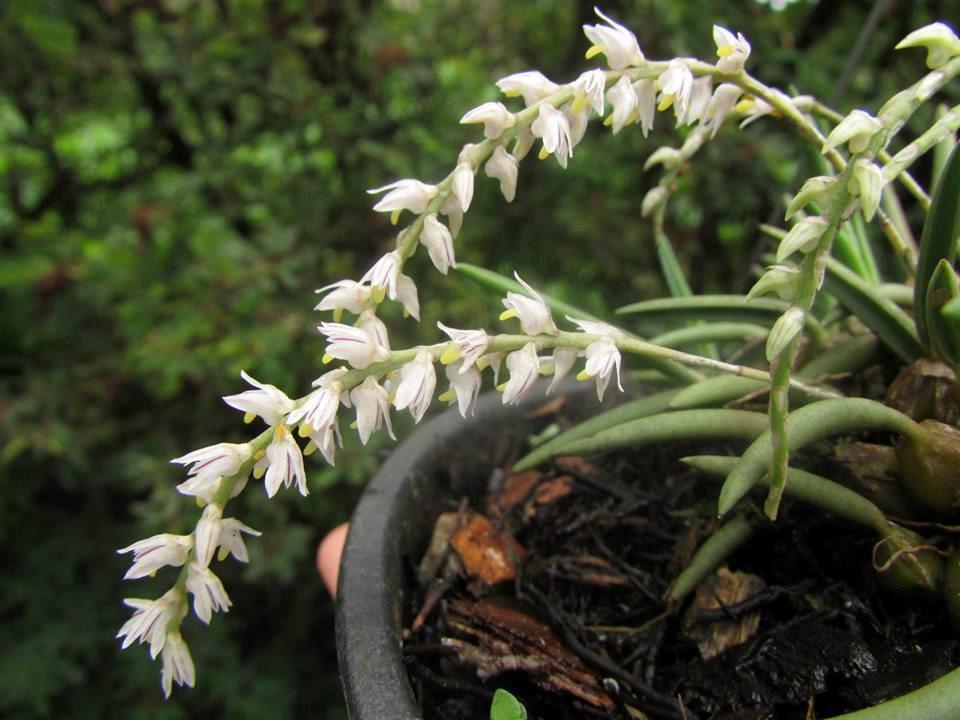 orquideas-eco-br-bulbophyllum-rupiculum