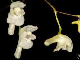 Pabstiella mirabilis
