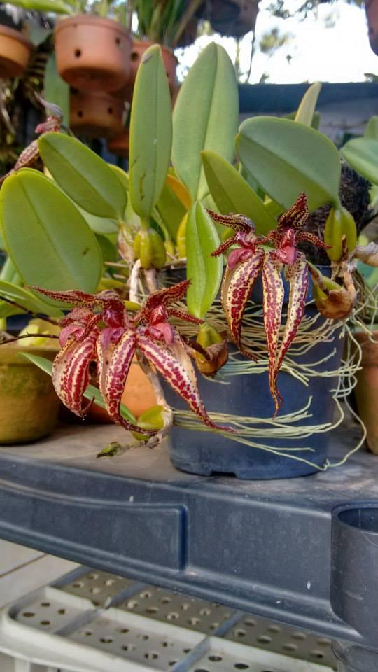 orquideas-eco-br-bulbophyllum-emily-siegerist