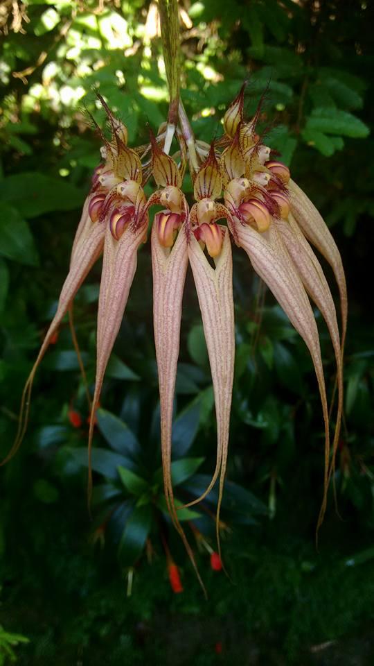 orquideas-eco-br-bulbophyllum-louis-sander