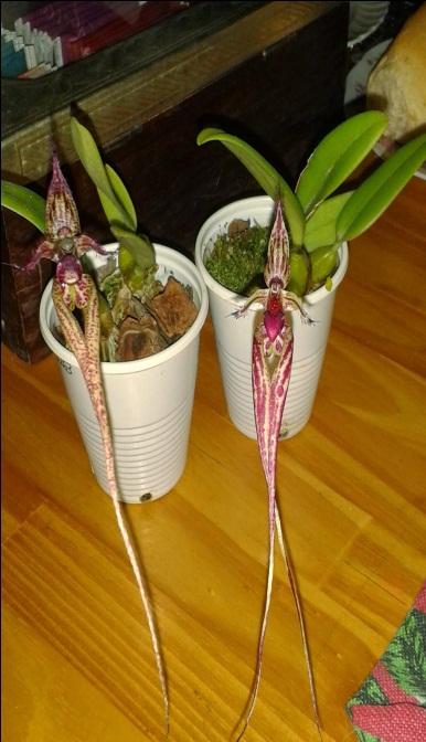 orquideas-eco-br-bulbophyllum-s-y-n-ignis-draconis