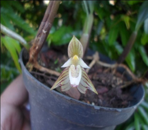 orquideas-eco-br-bulbophyllum-ambrosea