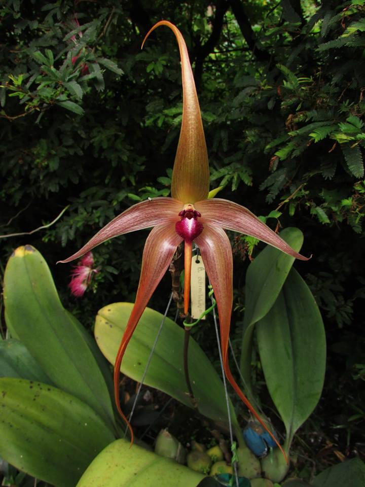 orquideas-eco-br-bulbophyllum-echinolabium