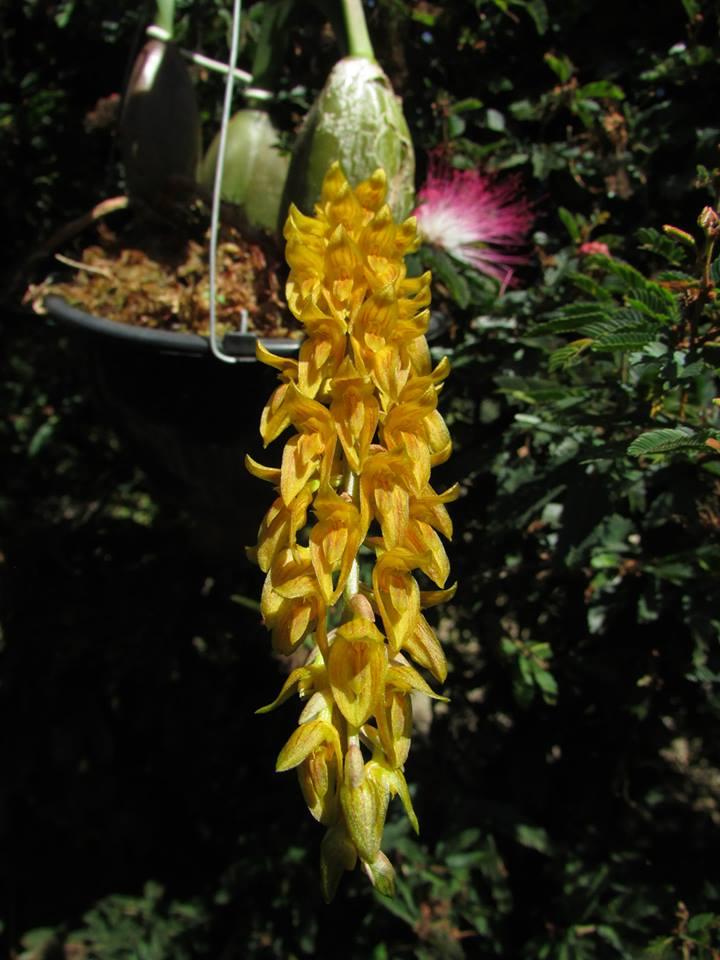 orquideas-eco-br-bulbophyllum-elassonotum