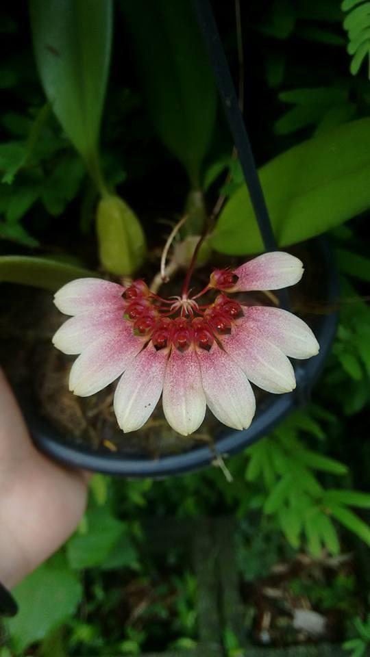 orquideas-eco-br-bulbophyllum-lepidum