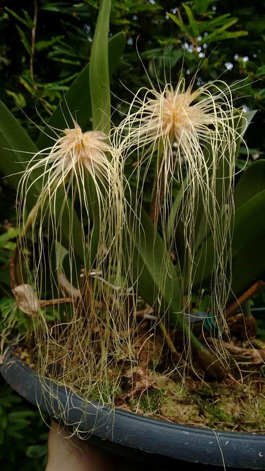 orquideas-eco-br-bulbophyllum-medusae