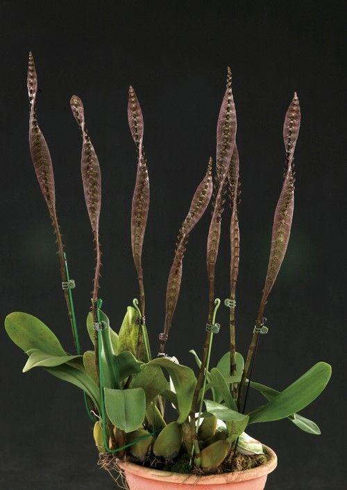 orquideas-eco-br-bulbophyllum-purpureorachis