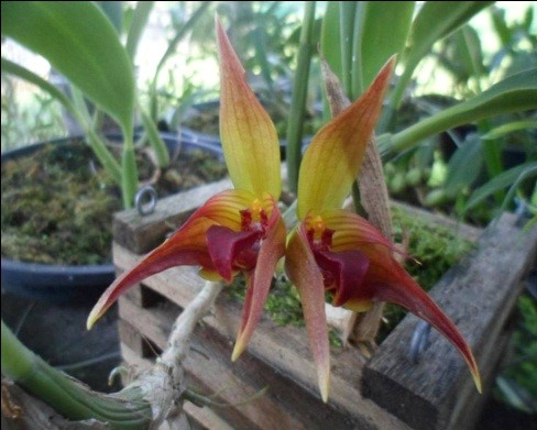 orquideas-eco-br-bulbophyllum-uniflorum