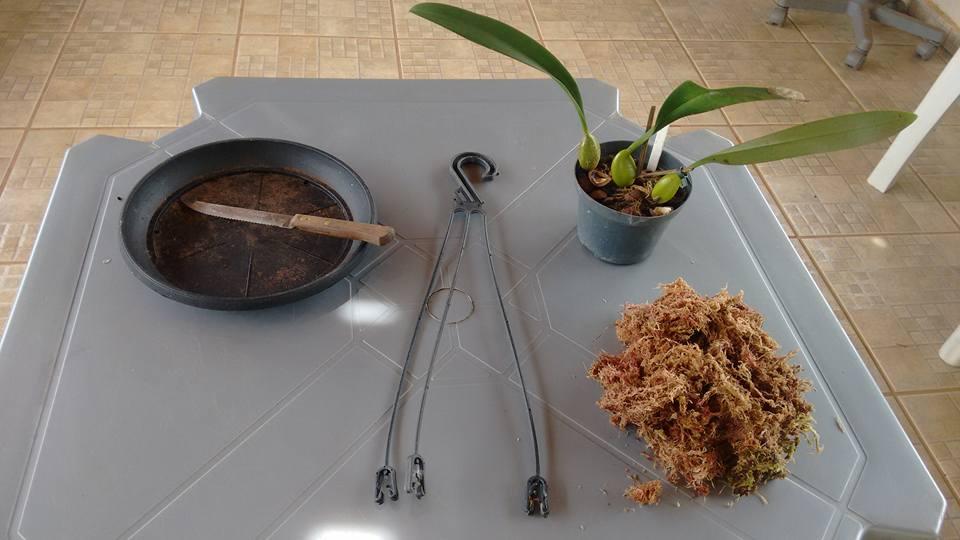 orquideas-eco-br-cultivo-de-bulbophyllum-no-prato-1