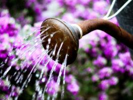 Como regar suas orquídeas