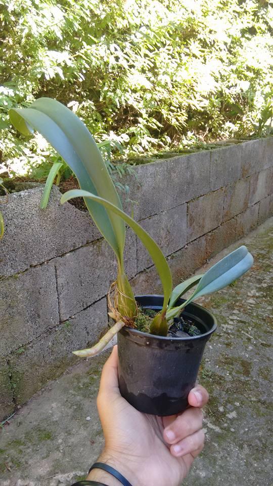 orquideas-eco-br-vaso-plastico