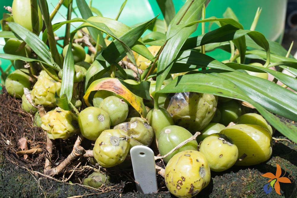 orquideas.eco.br - Morfologia: o caule das orquídeas