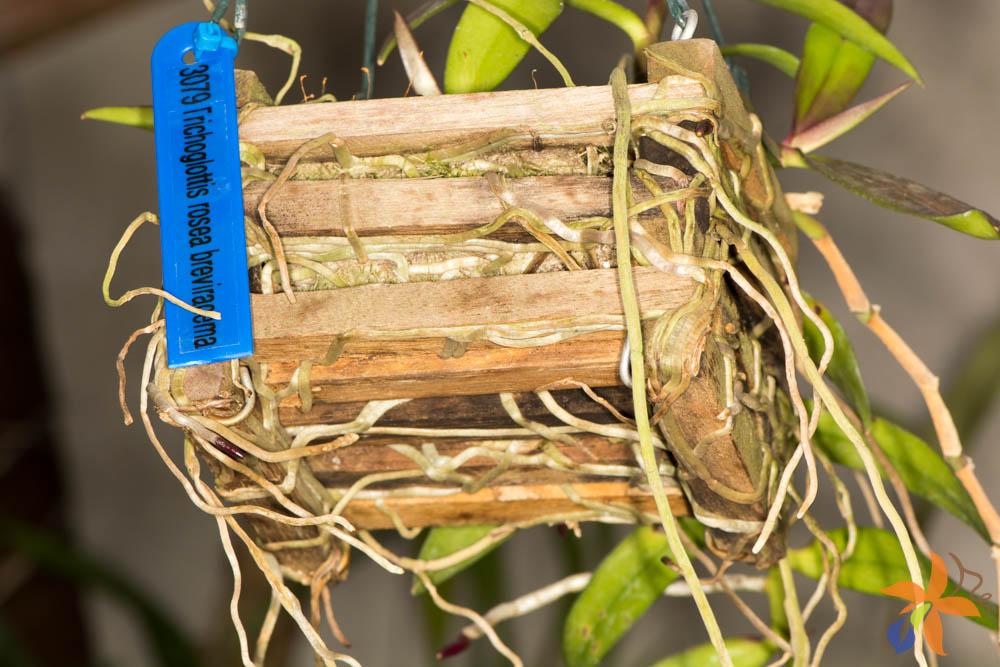 orquideas-eco-br-morfologia-das-orquideas-raizes-11