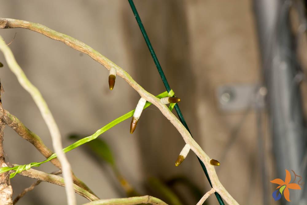orquideas-eco-br-morfologia-das-orquideas-raizes-12