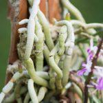 orquideas.eco.br - Morfologia: as raízes das orquídeas