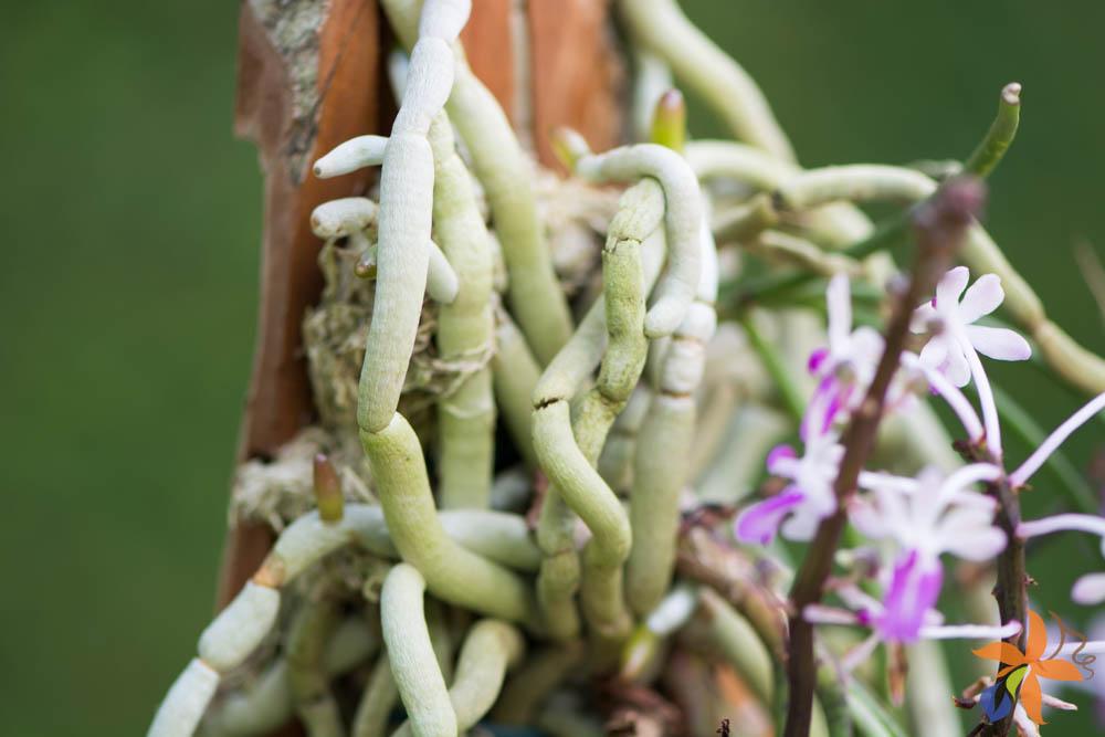 Morfologia: as raízes das orquídeas